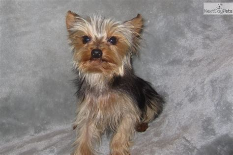 yorkie puppies st louis tiny turbo terrier yorkie puppy for sale near st louis missouri