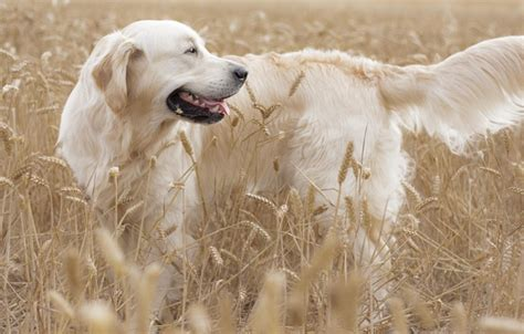 golden retriever ears wallpaper golden retriever ears field golden retriever images for desktop