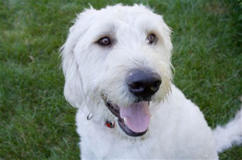 white labradoodle puppies labradoodle dogs