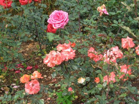 window sill centenary rose garden  ooty   season