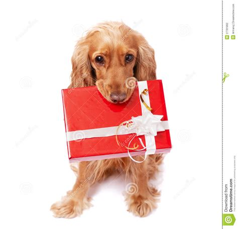 puppy present the is holding a present stock photography image 27781862