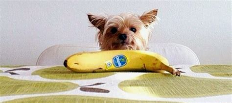 can yorkies eat bananas can dogs eat bananas