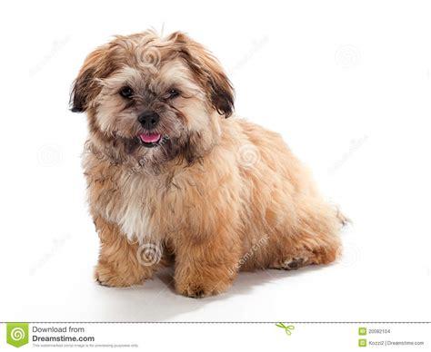 shih tzu cockapoo mix shi poo mix stock photo image of shih house poodle