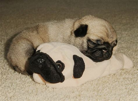 baby pugs sleeping sleepy pugs
