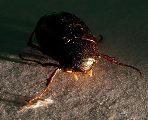 why do bed bugs come out at night image gallery night bugs