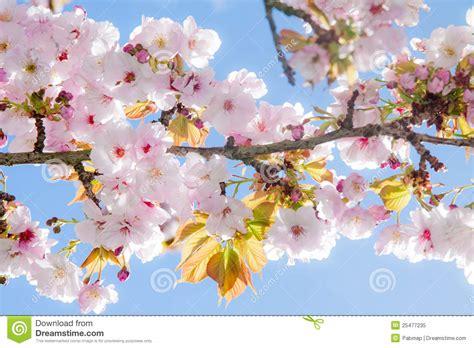 summer on blossom a novel a blossom novel beautiful summer blossom tree royalty free stock photo
