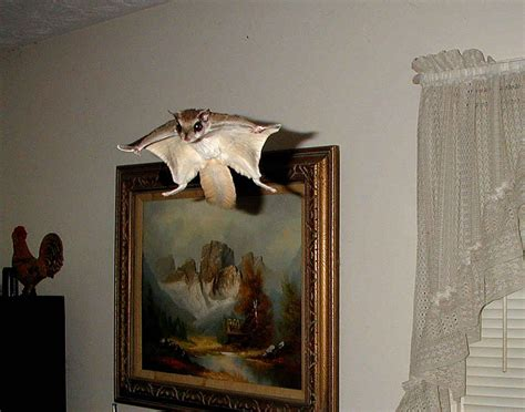 fly in the house flying squirrels in attic archives metro atlanta wildlife trapping removal