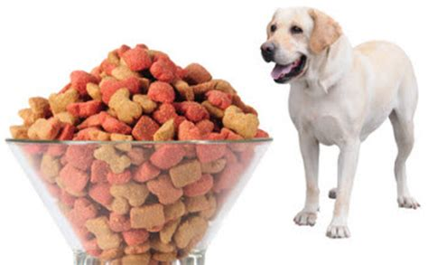 how much puppy food to feed lab puppies what to feed a labrador retriever puppy photo