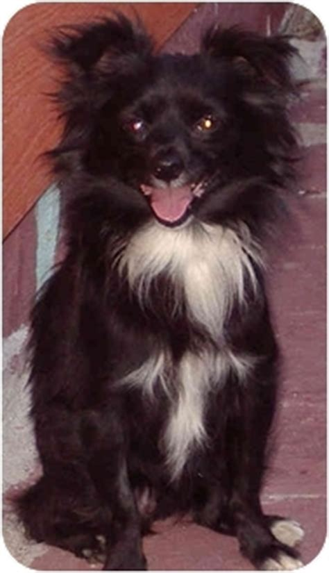 los angeles pomeranian rescue oliver adopted puppy los angeles ca schipperke pomeranian mix