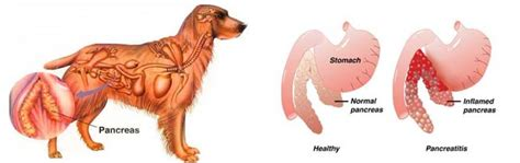 pancreatitis diet for dogs pancreatitis in dogs science based look prevention treatment nextgen