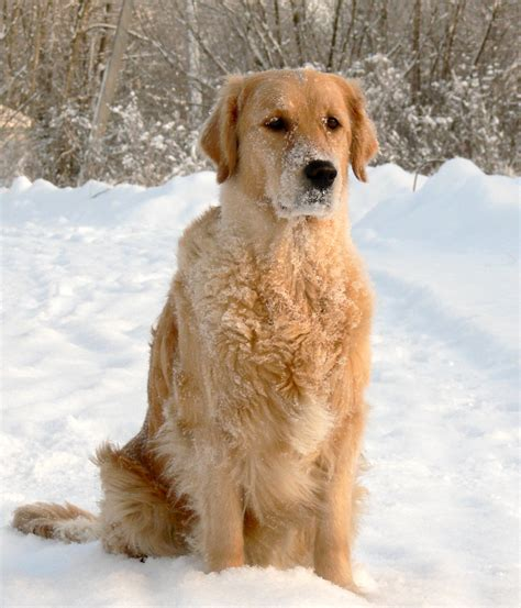 golden retriever in the snow golden retriever in the snow photo and wallpaper beautiful golden retriever