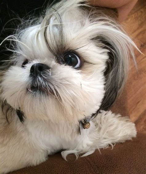 lazy shih tzu 10 reasons shih tzus are the worst breed