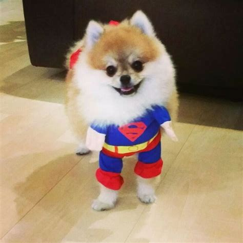 pomeranian costume 10 costumes that prove pomeranians always win at