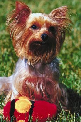 yorkie ear problems taking care of ears for yorkies poodles pets