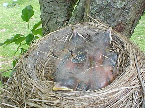 best 28 how after hatching do robins fly baby robins