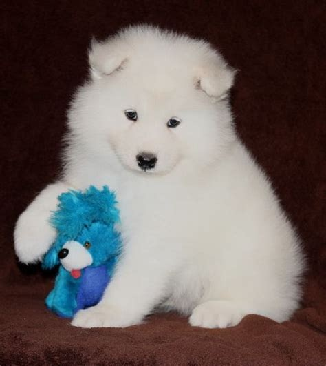 samoyed puppies for sale mn best 25 samoyed puppies for sale ideas on