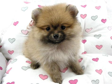 petfinder pomeranian pomeranian puppies sold 5 years 9 months taiwan lineage mini pomeranian from klang