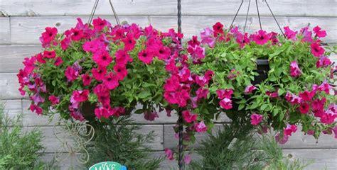 Petunia Merah cara menanam bunga petunia tanaman hias bunga buah dan sayur