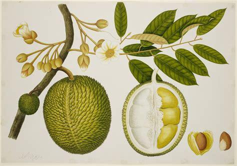 Bibit Durian Musangking 2 bibit durian montong jual bibit durian montong terbaik
