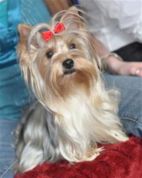 yorkie puppies for sale in spokane teacup yorkies for sale yorkie puppies atlanta tallahassee