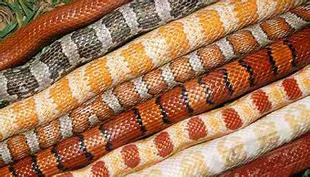 corn colors purchasing your corn snake corn snake