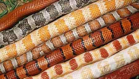 purchasing your corn snake corn snake