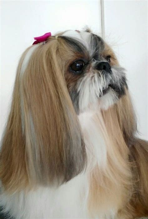 japanese chin haircuts 1807 best images about love of shih tzu s on pinterest