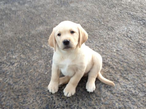 labrador puppies pa yellow lab puppies for sale in pa pdf