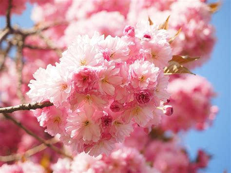 Free Photo Cherry Blossom Japanese Cherry Free Image Japanese Cherry Blossom Flower