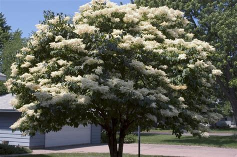 lilac tree editions 174 snowdance japanese tree lilac syringa