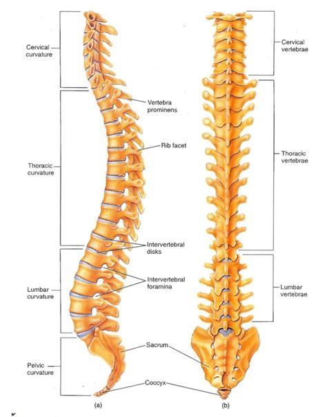 lumbar spine diagram labeled vertebrae diagrams diagram site
