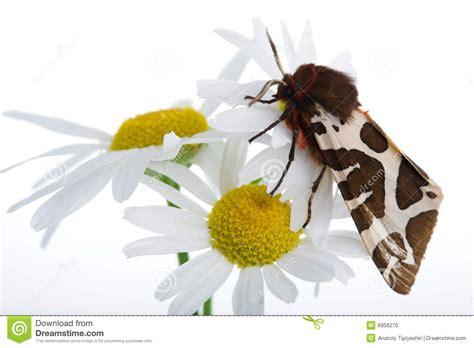 fiore della camomilla fiore della camomilla fotografia stock immagine di foglio