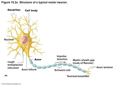 diagram of a typical motor neuron choice image how to