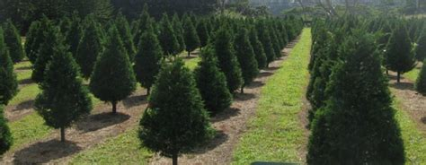 the one magical christmas tree farm to visit in hawaii