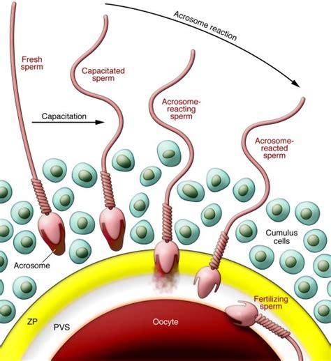fecondazione interna jci fertilization a s journey to and interaction