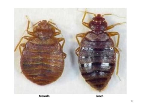 male and female bed bugs bedbugslicescabiesohmy