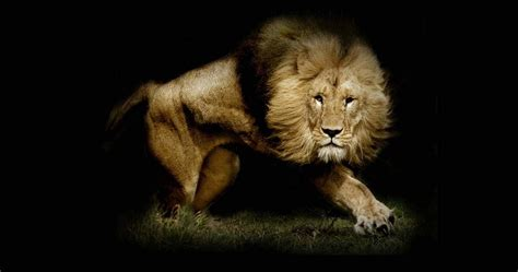 lion wallpaper pinterest strong lion wallpaper hd 4k ultra hd wallpaper