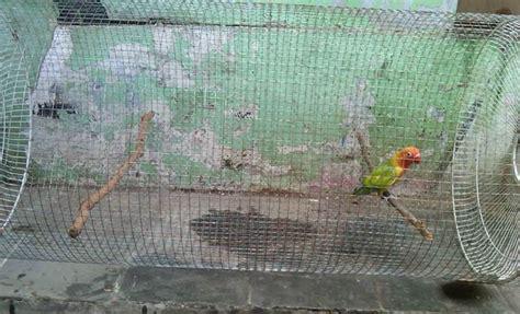 Lu Spektrum Untuk Lovebird alternatif mengatasi pada lovebird klub burung