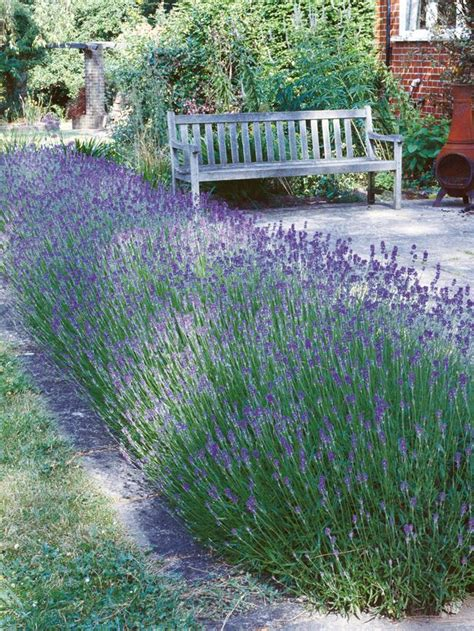 create and care for a lavender hedge create and care for
