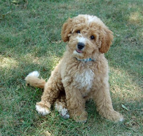 labradoodle puppies home midwest labradoodle