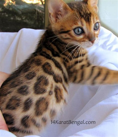 kitten for sale 25 best ideas about bengal kittens on bengal