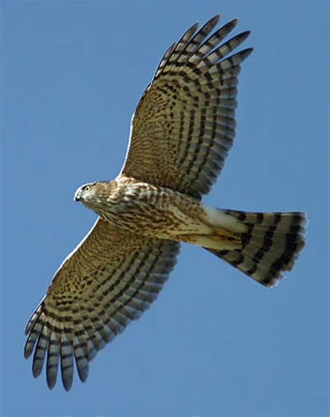 sharp shinned hawk sharp shinned hawk facts habitat diet call images