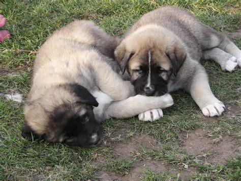 anatolian shepherd puppies anatolian shepherd breeds picture