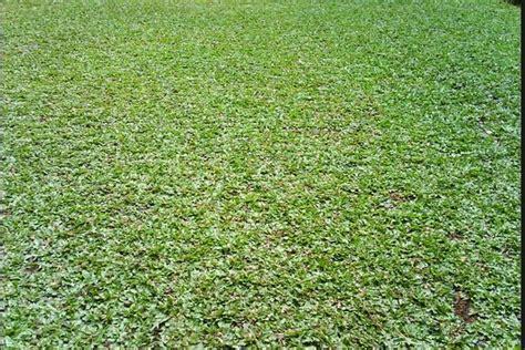 Karpet Jepang merawat rumput gajah mini agar terlihat seperti karpet