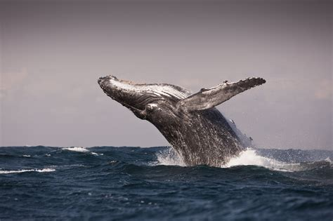 Humpback Whales Discovered in 'Super-Groups' | Time