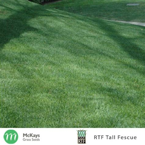 rtf tall fescue seed mckays grass seeds