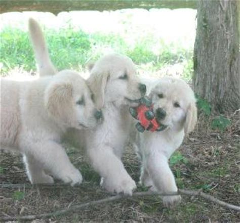 pale golden retriever how to take care of a brand new puppy