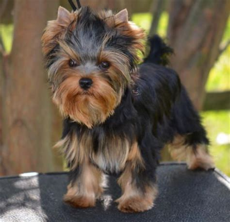 yorkie puppy cut instructions 95 best images about chorkies on pinterest chihuahuas