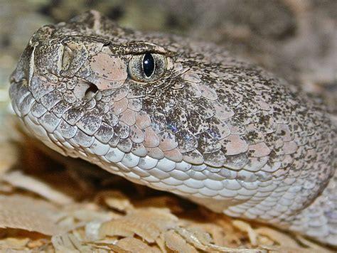 Western Diamondback Rattlesnake | Flickr - Photo Sharing! Western Diamondback Rattlesnake Head