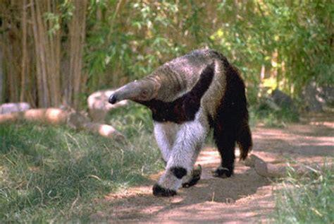 animals world latest   animal anteater pet information